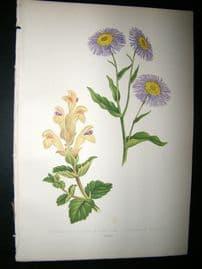Wooster 1874 Antique Botanical Print. Stenactis Speciosa