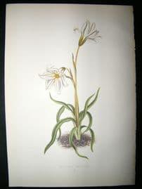 Wooster 1874 Antique Botanical Print. Trieleia Uniflora