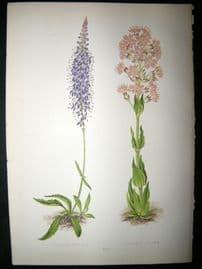 Wooster 1874 Antique Botanical Print. Veronica Spicata