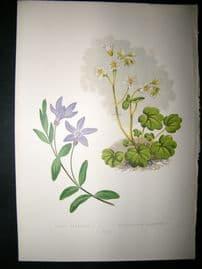 Wooster 1874 Antique Botanical Print. Vinca Herbacea