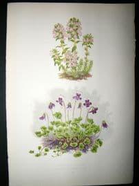 Wooster 1874 Antique Botanical Print.Thymus Striatus