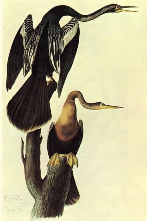 Audubon, John James: Anhinga. Ornithology Fine Art Print/Poster. Sizes: A4/A3/A2/A1 (00661)