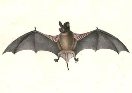 Hardwicke, Thomas: Chaerephon Plicatus, Wrinkle-Lipped Free-Tailed Bat. Fine Art Print/Poster (4907)
