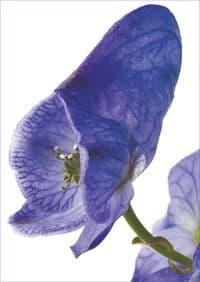 Gift Card - Aconite (Aconitum Napellus)