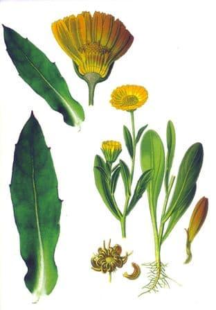 Gift Card - Marigold (Calendula Officinalis)
