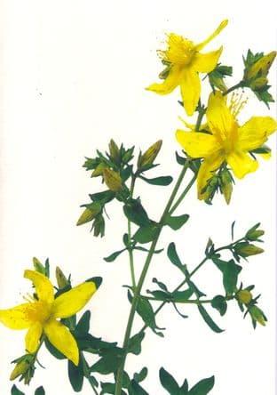 Gift Card - St John's Wort (Hypericum Perforatum)