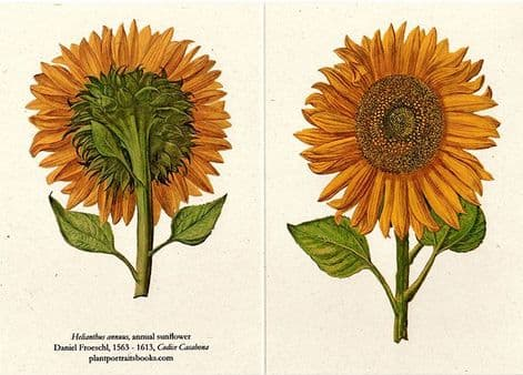 Helianthus Annus -  Double Sided Greetings Card