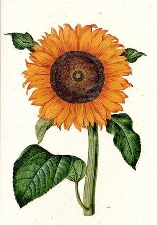 Helianthus Annuus I - Greetings Card