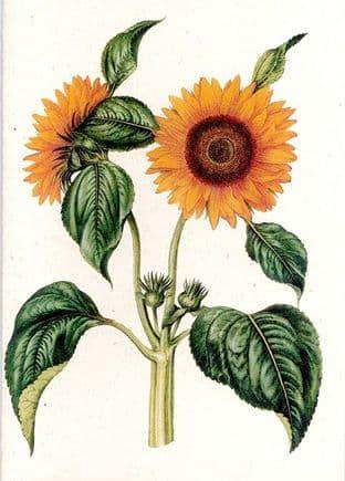 Helianthus Annuus III - Greetings Card