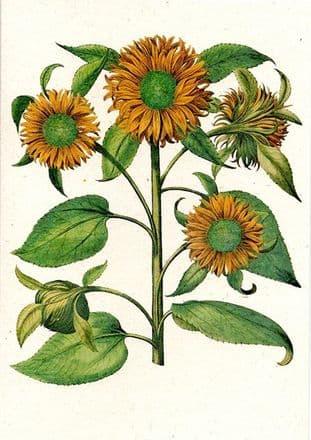 Helianthus Multiflorus - Greetings Card