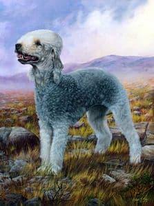 Limited Edition Bedlington Terrier Print RMLE27
