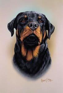 Rottweiler Head Study Print RMDH123